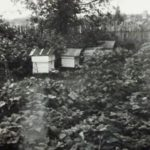 Пасека Баландиных в Борзово. Лето 1969 г.